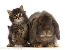 Tabby kitten and grey Lop rabbit