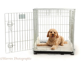 Cockapoo dog in a crate
