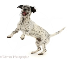 Dalmatian-x-Shih Tzu dog, jumping up