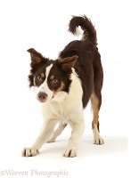 Playful Chocolate tricolour Border Collie
