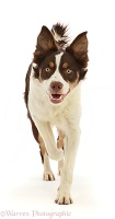 Chocolate tricolour Border Collie running
