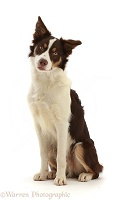 Chocolate tricolour Border Collie sitting