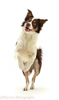 Playful Chocolate tricolour Border Collie jumping up