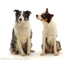 Blue merle and tricolour chocolate Border Collies