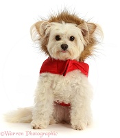Pomapoo wearing a tweedy fur lined red jacket