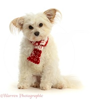 Pomapoo wearing a red-and-white scarf