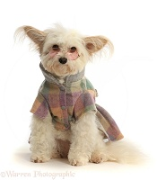 Pomapoo wearing a tweedy jacket and glasses