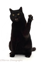 Black cat swiping and bearing teeth