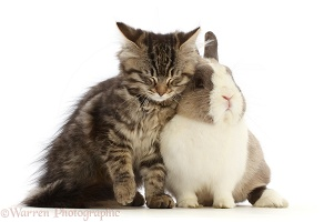 Tabby kitten snuggling with and Netherland Dwarf rabbit