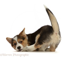 Pembrokeshire Corgi puppy, turning after pouncing