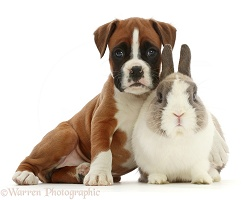 Boxer puppy and Netherland Dwarf rabbit