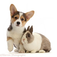 Pembrokeshire Corgi puppy and Netherland Dwarf rabbit