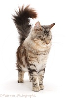 Silver tabby fluffy cat walking with tail erect and eyes shut