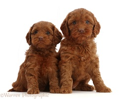 Red Cockapoo puppies, 6 weeks old