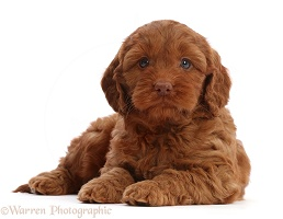 Red Cockapoo puppy, 6 weeks old