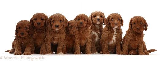 Seven red Cockapoo puppies, 6 weeks old, sitting in a row