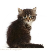 Tabby kitten sitting, looking over shoulder