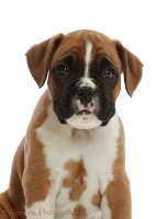 Boxer puppy, 6 weeks old
