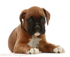 Boxer puppy, 6 weeks old, standing
