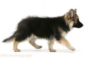 Alsatian pup walking across