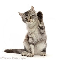 Silver tabby kitten sitting with raised paw waving