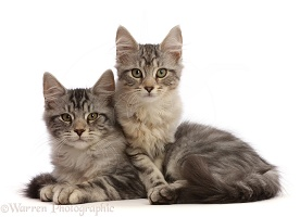 Silver tabby kittens, lying together