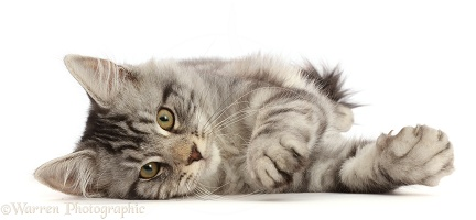 Silver tabby kitten lying with on his side