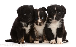 Three Mini American Shepherd puppies, sitting in a row