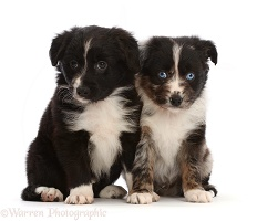 Two Mini American Shepherd puppies, sitting
