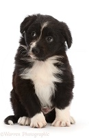 Mini American Shepherd puppy, sitting