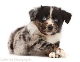 Mini American Shepherd puppy, paws crossed
