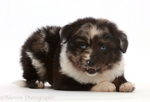Mini American Shepherd puppy, semi play-bow
