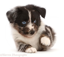 Mini American Shepherd puppy, pointing paw
