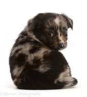 Mini American Shepherd puppy, sitting, looking over shoulder
