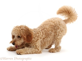 Cockapoo dog in playbow