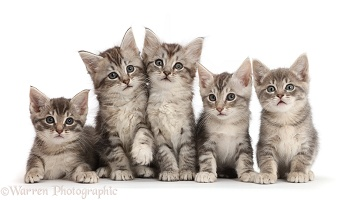 Five silver grey tabby kittens