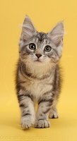 Silver tabby kitten walking on yellow background