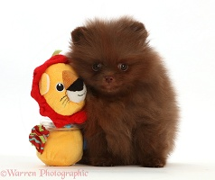 Dark brown Pomeranian puppy with toy