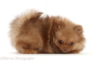 Playful Pomeranian puppy