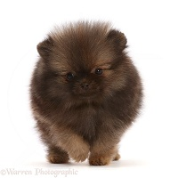 Dark brown Pomeranian puppy