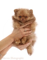 Pomeranian puppy held in hands