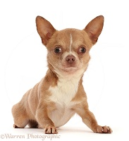Chihuahua dog, lying with head up