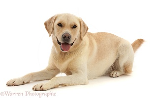 Yellow Goldidor Retriever dog