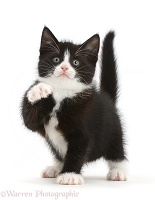 Black-and-white kitten pointing with a paw