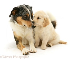 Tricolour Border Collie with Golden Retriever pup
