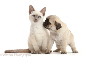Blue-point Birman-cross kitten with Pug puppy