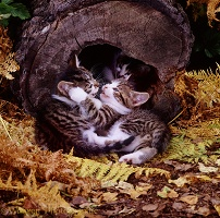 Kittens playing by a hollow log