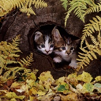 Kittens looking out of a hollow log