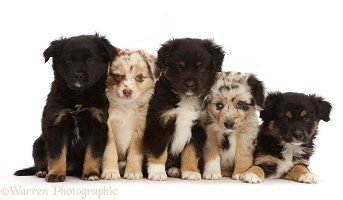 Five Mini American Shepherd puppies, 7 weeks old