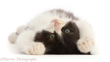 Black-and-white Persian x Ragdoll kitten, lying on his back
